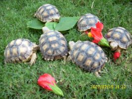 Our Baby Tortoises by thoroughbredlover77
