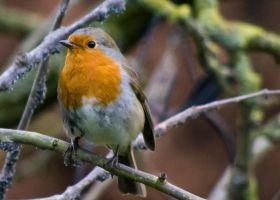 robin by Brianthill