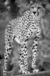 International Cheetah Day #1 by Seb-Photos