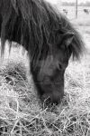 Miniature Horse BNW by bmv11
