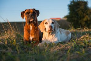 Beagle n Boxer - Portray (uncroped) by kocy