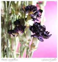 Dianthus by pathlost
