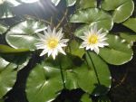 Nymphaeaceae by Night-bloomingCereus