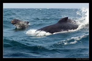 Pilot Whales by RoieG