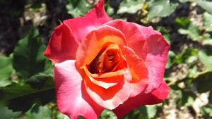 Roses 038 by DarlingChristie