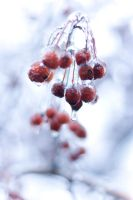 Frozen Cherry by danlev