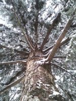 Snowy Pine by LunraAN