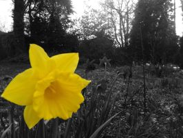 Yellow daffodils in the dark by Manipulate-It