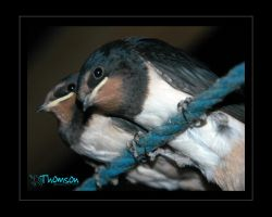 Swallows the 2nd brood by kilted1ecosse