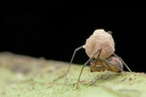 Theridiidae? running with egg sac by melvynyeo