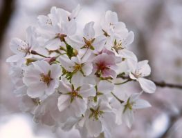 Cherry Blossoms II by RedesigningIcarus
