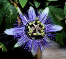 Velvia - Passiflora by froggynaan