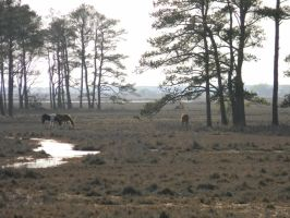 Wild Pony's of  Chincoteague by kisame661366