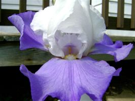 White and Violet Iris by NetherStray