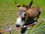 Miniature Donkey 3 by MarieMichaels