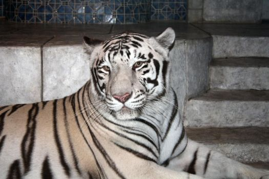 Nero the white tiger 02 by goodiebagstock