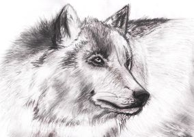 Wolf of winter. by Sihuk
