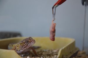 Leopard Gecko preparing to eat by A1Z2E3R