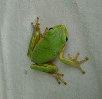 Frog 009 by Moose-Stock