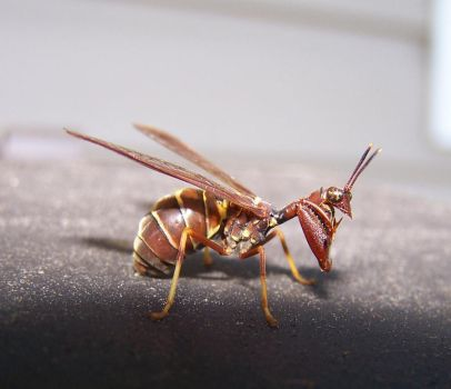 Brown Mantidfly by sigma1ao