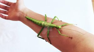 My stick insect by Garriken