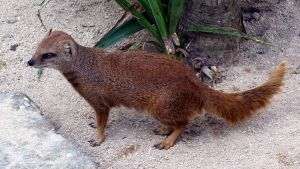 Yellow Mongoose by loganberrybunny