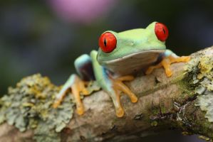 Tree frog in a tree by AngiWallace