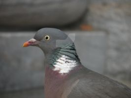Pigeon by BillyBobJoeFred