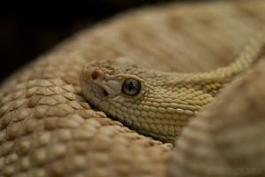 Neotropical Rattlesnake by rgphoto777
