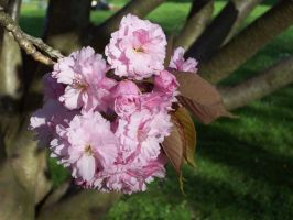 Cherry Blossom Cluster by Sarinilli