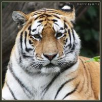 Amur Tiger 19 by Globaludodesign