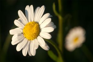 Marguerite Two by LaChRiZ