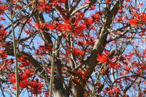 Flame Tree by mirrorsEverywhere