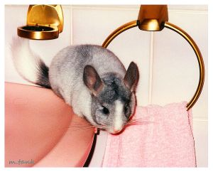 Chinchilla Bathroom Expedition by Villa-Chinchilla