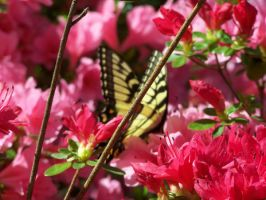 Azaleas and Butterfly by seiyastock