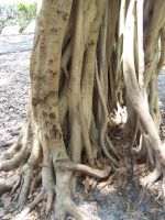 Banyan Roots 4 by Polly-Stock