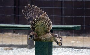Bundi - Woodfords Owl - full flight by Steve-FraserUK