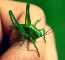 Green Cricket by Hotmane