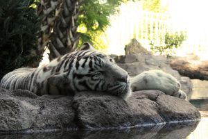 White tiger sleeping by charfade