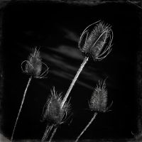 more thistles by vw1956