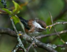 Chestnut-Backed Chickadee by nivaun