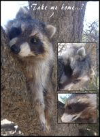 PREMADE Raccoon SOLD! by Tricksters-Taxidermy