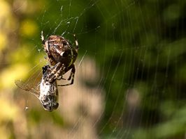 into the spiders web 2 by Siphotografx