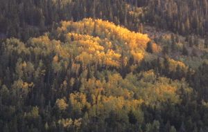 Aspens Like Molten Gold by PamplemousseCeil