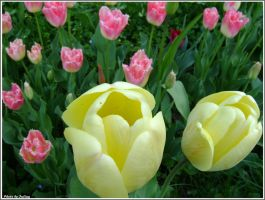 Tulips by Iuliaq