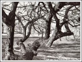 Gnarled - Jan 2006 by pearwood