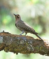 Northern Flicker? by Tailgun2009