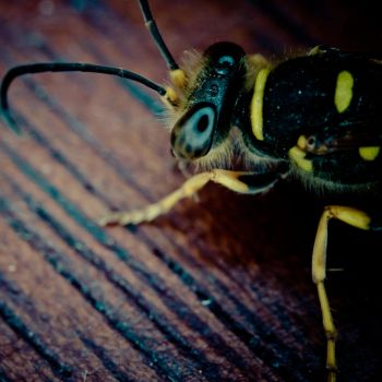 Wasp by LtSniper