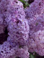 Sping Lilacs by Annetteks