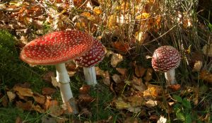 Amanita Muscaria in Autumn Setting 1 by Danimatie